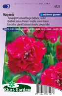 Carnation Magenta giant Chabaud double, deep violet