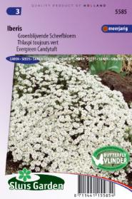 Candytuft evergreen, Iberis white